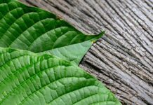 Kratom leaves